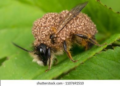 Mason Bee (Osmia bicornis)