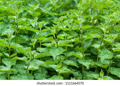 A mass of edible Garden Mint (Mentha) herbs