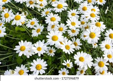 A mass of large white and yellow flower heads of shasta daisys Leucanthemum × superbum