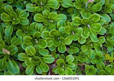 Mass of Liverwort, fresh spring growth