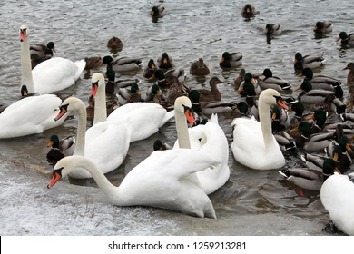 Mass of mallards (Anas platyrhynchos) and Mute swans (Cygnus olor) wintering in city. Krynica Reservoir, Minsk, Belarus
