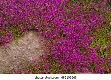 Groundcover images stock photos vectors shutterstock mass of pink flowers from wild creeping mother of thyme covers the ground magic carpet mightylinksfo