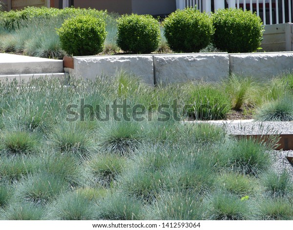 Mass Planting Blue Fescue Karl Foerster Stock Photo Edit Now
