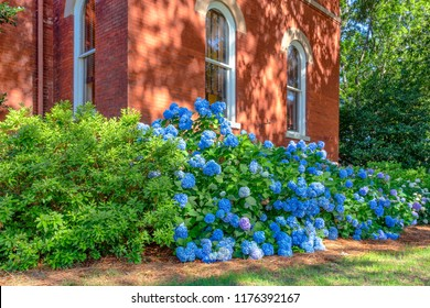Mass planting of blue hydrangea on the campus of the University of Mississippi.