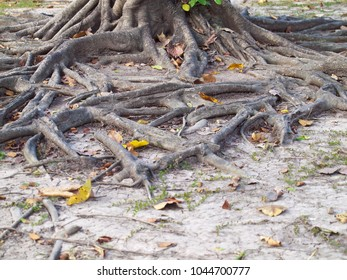 Mass root system above the dry ground in forest.