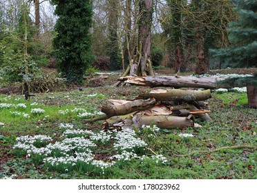 A mass of Snowdrops and pile of timber in a woodland glade