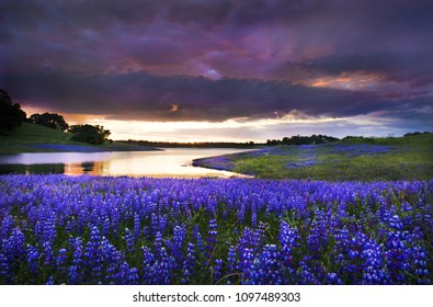 A mass of wild purple lupines under a purple and magenta sky at sunset over Lake Folsom  in California.  In April seen under stormy sky meadows surrounding the lake with oak trees on the rolling hills