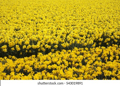 A mass of yellow daffodils growing in a field.  There are two types of daffodil.