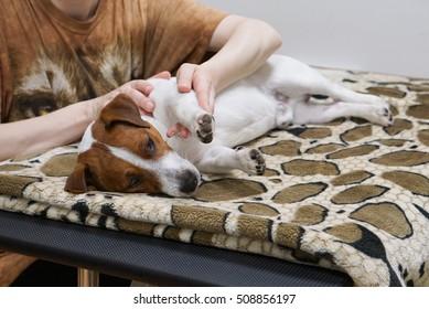 Massage/Woman's hand massaging leg of resting jackrussell terrier