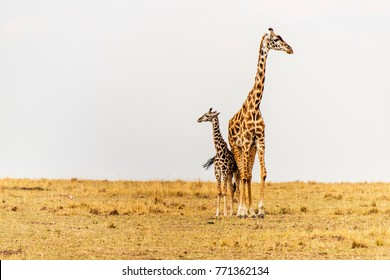 Massai Giraffe Mother, newborn calf in grasslands. Maasai Mara, Kenya, Africa. Savannah landscape. Two giraffes close together, touching, looking in different direction. Family. Baby. Cow. Copy space.