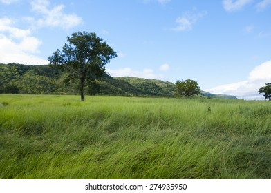 Massai Grass at Farm in Minas Gerais Brazil