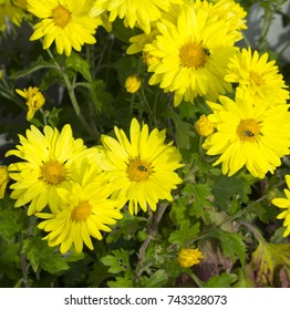 Massed blooms  of  bright canary  yellow Chrysanthemums, called mums or chrysanths,  flowering plants  of genus Chrysanthemum family Asteraceae   are used as a floral tribute to mums on mother's day.