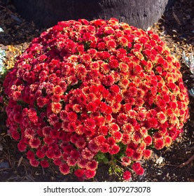 Massed blooms of russet red pom pom Chrysanthemums,  called mums or chrysanths,  flowering plants  of genus Chrysanthemum family Asteraceae  are used as a floral tribute to mums on mothers day.