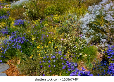 Massed display of West Australian wildflowers  including Swan River daisy, kangaroo paws ,everlastings in King's Park Perth Western Australia  on a sunny spring day are delicately spectacular.