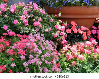 masses of flowering annuals in large clay pots