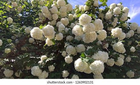"Masses of large, milky snowball-like flower clusters. Tons of gorgeous, white pom-pom flowers. Sumptuous bush covered with masses of ivory ""snowball"" clusters, contrasting with the green leaves"