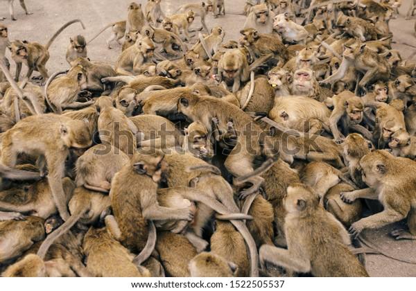 A masses of monkeys. Many monkey are scramble for food, KaoNor-KaoKaew Nakhonsawan, Thailand.