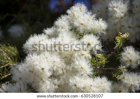 Masses white fluffy flowers australian melaleuca stock photo edit masses of white fluffy flowers of australian melaleuca linariifolia snow in summer mightylinksfo