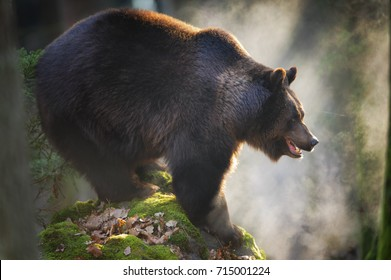 Massive brown bear standing on the rock