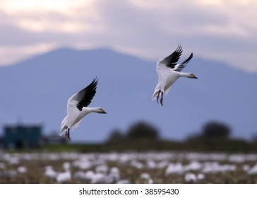 Massive flock of snow geese add two more