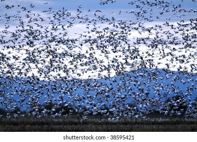 Massive flock of snow geese taking flight from a farmer's harvested corn field