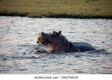 Massive Hippos in the water of a pond or river between Chobe National Park and Moremi Game Reserve in Botswana