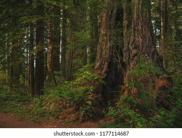 A massive and hollowed out (but still living) coastal redwood tree trunk stands quietly in the Lady Bird Johnson Grove of Redwood National Park in Humboldt County, northern California, USA.