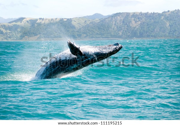 Massive humpback whale playing in water captured from Whale whatching boat. The marine giant is on its route from New Zealand to Australia