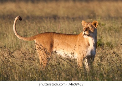 A massive lioness in golden light