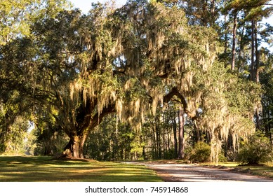 A massive live oak tree draped in Spanish moss is a typical site in the low country areas of the southeastern United States.