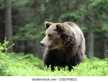 Massive  male brown bear (ursus arctos) in the dark old spruce forest
