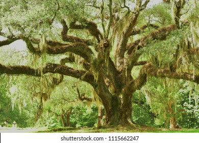 Massive Moss-draped Live Oak Tree in Louisiana