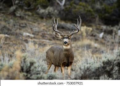 massive mule deer in a dry November.