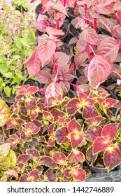 Massive red foliage the ornamental coleus and its red leaves