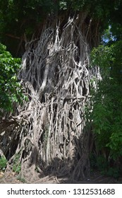 The massive roots of the 600-year old Balete tree, the biggest Balete tree in Asia, also known as the Millennium Tree, located in the town of Maria Aurora, Aurora Province, Central Luzon, Philippines
