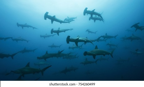 Massive School of Hammerheads in Galapagos, the Pinnacle of Diving