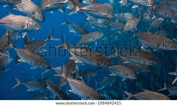 Massive school of jack fish in a shallow water close up