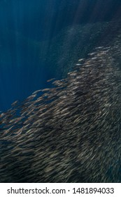 Massive school of sardines in a shallow reef. Sardine shoal or sardine run in Moalboal is a famous tourist destination in the southern town of Cebu, Philippines.
