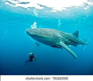 A massive, spotted whaleshark with a diver for scale, West Papua, Indonesia