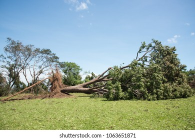 Massive tree uprooted after Cyclone Marcus at Bicentennial Park in Darwin, Australia