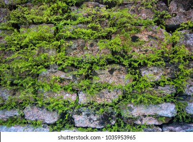 Massive wall background with green plants. Mossy rustic stone wall closeup photo texture. Rough stone wall of ancient building. Green moss on stone closeup. Old masonry stonewall pattern