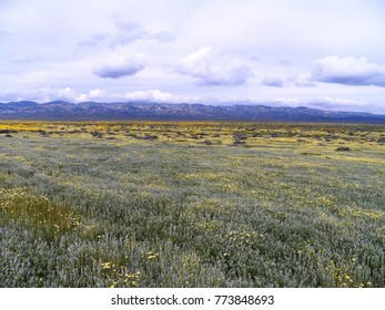Massive wildflower bloom at Carrizo Plain National Monument, March 2017 - cloudy but beautiful day