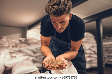 Master brewer checking the barley seeds before they are enter in the system of brewing. Employee examining the barley from gunny bag at brewery factory.
