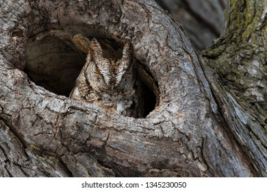 The master of camouflage, Eastern Screech Owl (Megascops, asio)