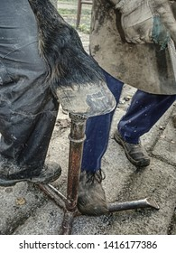 Master farrier check, trimming and balancing horses hooves. Blacksmith farrier handle hoof to set up horseshoe