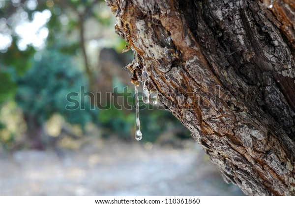 mastic gum on a tree on chios, greece