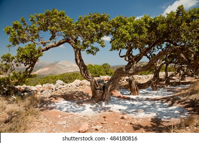 Mastic Tree in Chios, Greece