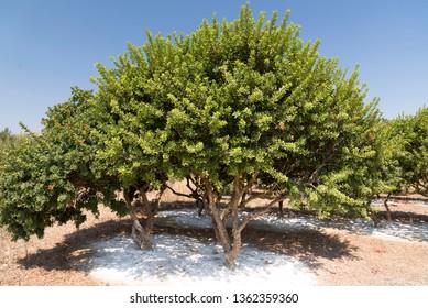 Mastic tree in a Mastic farm in Chios Island Greece.
