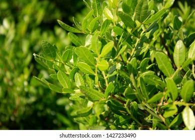 Mastische Bäume, Pistazienlentiscus am Mittelmeer.
