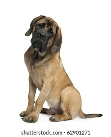Mastiff, 6 months old, sitting in front of white background